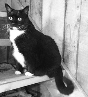 Black and White Tuxedo Cat Infinite Glassworks